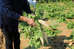 ダイコン収穫体験