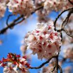 見沼代用水桜