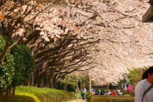 赤山城跡お堀の桜