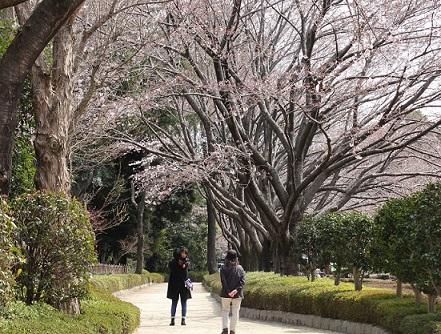 赤山城跡の桜