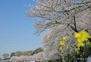 見沼代用水東縁の桜