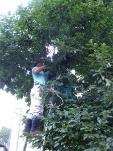 樹齢200年の柿の木